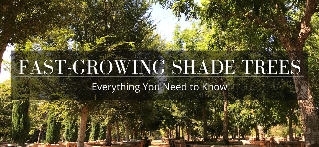 fast growing shade trees: everything you need to know