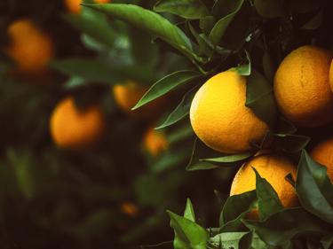 Oranges on citrus tree