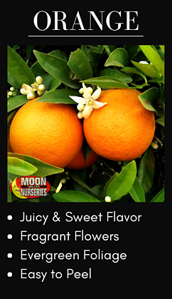 Orange Citrus Trees for best fruit