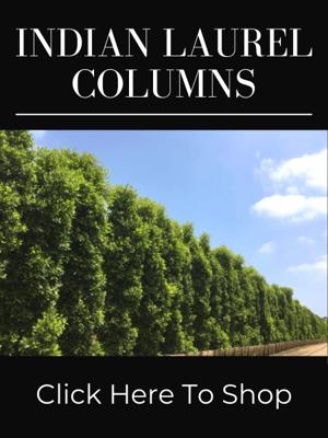 Indian Laurel Ficus nitida Columns for Privacy Hedges