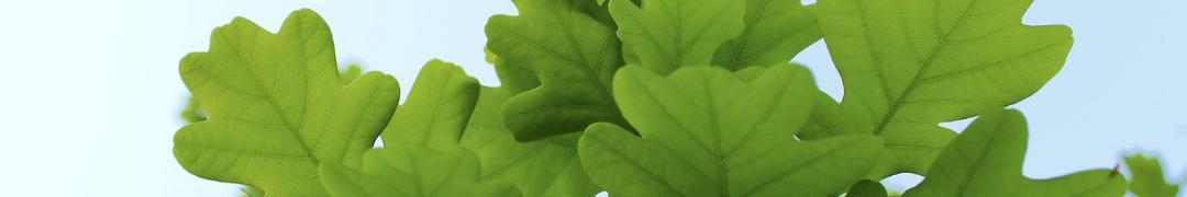 oak leaves header