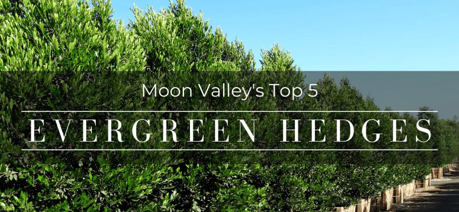 Top 5 evergreen hedges