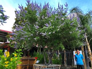 vitex tree with purple flowers