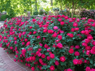 Roses in Rose bed