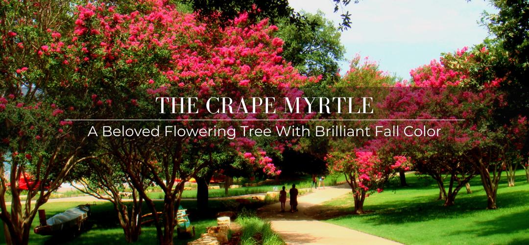 Crape Myrtle tree header