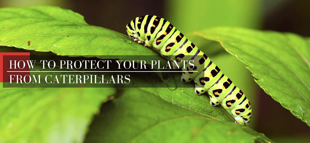 How to treat your plants to avoid skeletonizer caterpillars