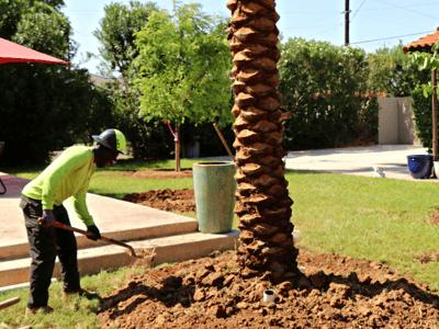 Moon Valley Nurseries planting date palms