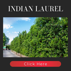 Ficus Nitida Indian Laurel Product Page