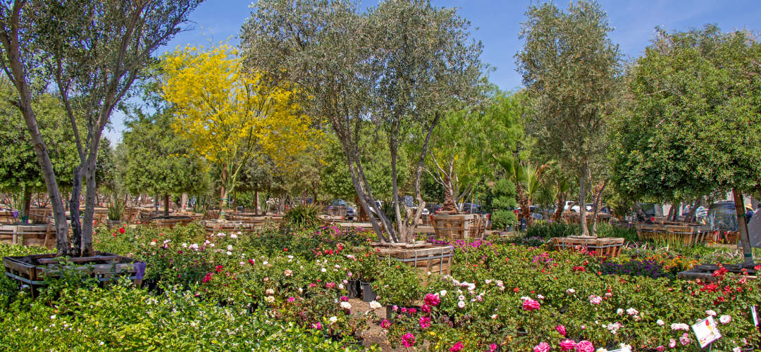 Nursery Shot of fruitless olives and flowering trees