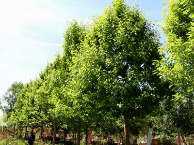 Shumard Oak trees at Moon Valley Nurseries