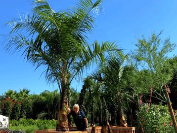 King Piru Palm