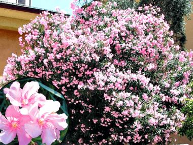 Oleander Tree with Pink Flowers