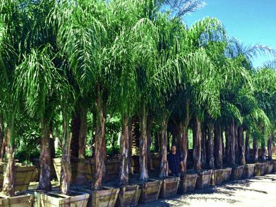 Piru Queen Palms at Moon Valley Nurseries