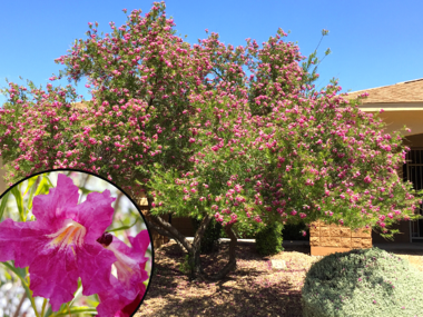 Desert Willow with Pink Flowers