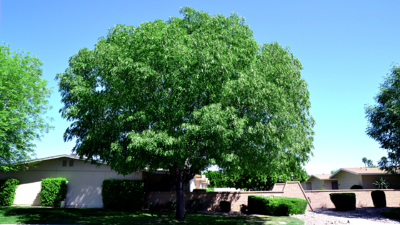 majestic beauty evergreen ash