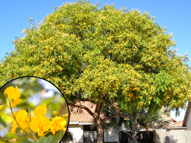 Tipu Tree with Yellow Flowers