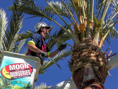 Trimming date palm trees