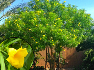 Thevitia Tree with Yellow Flowers