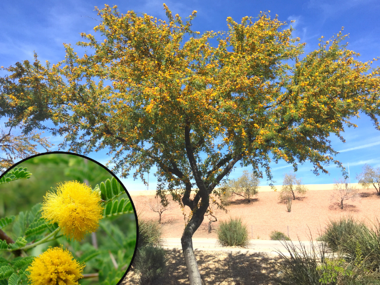 Sweet Acacia with Yellow Flowers