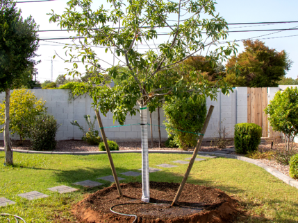Double Staked Fan Tex ash from Moon Valley Nurseries