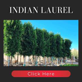 Ficus Indian Laurel