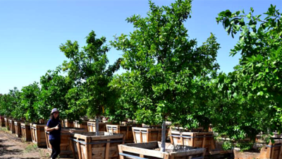 Peach trees at nursery