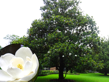 Magnolia Tree with Large White Flowers