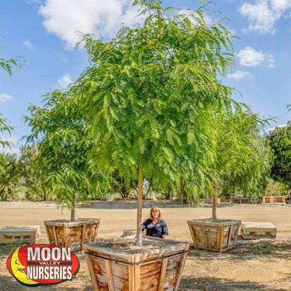tipu tree exclusive tree to moon valley nurseries