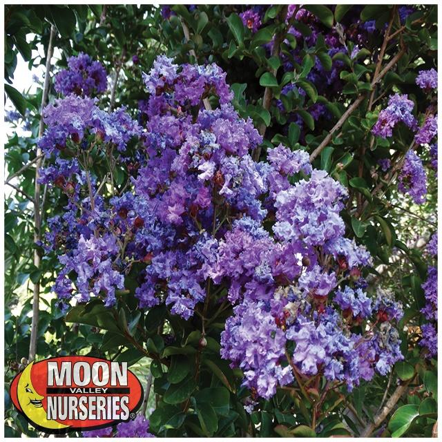purple crape myrtle flower.jpg