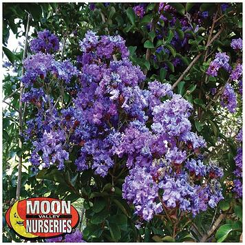 purple crape myrtle flower.jpg