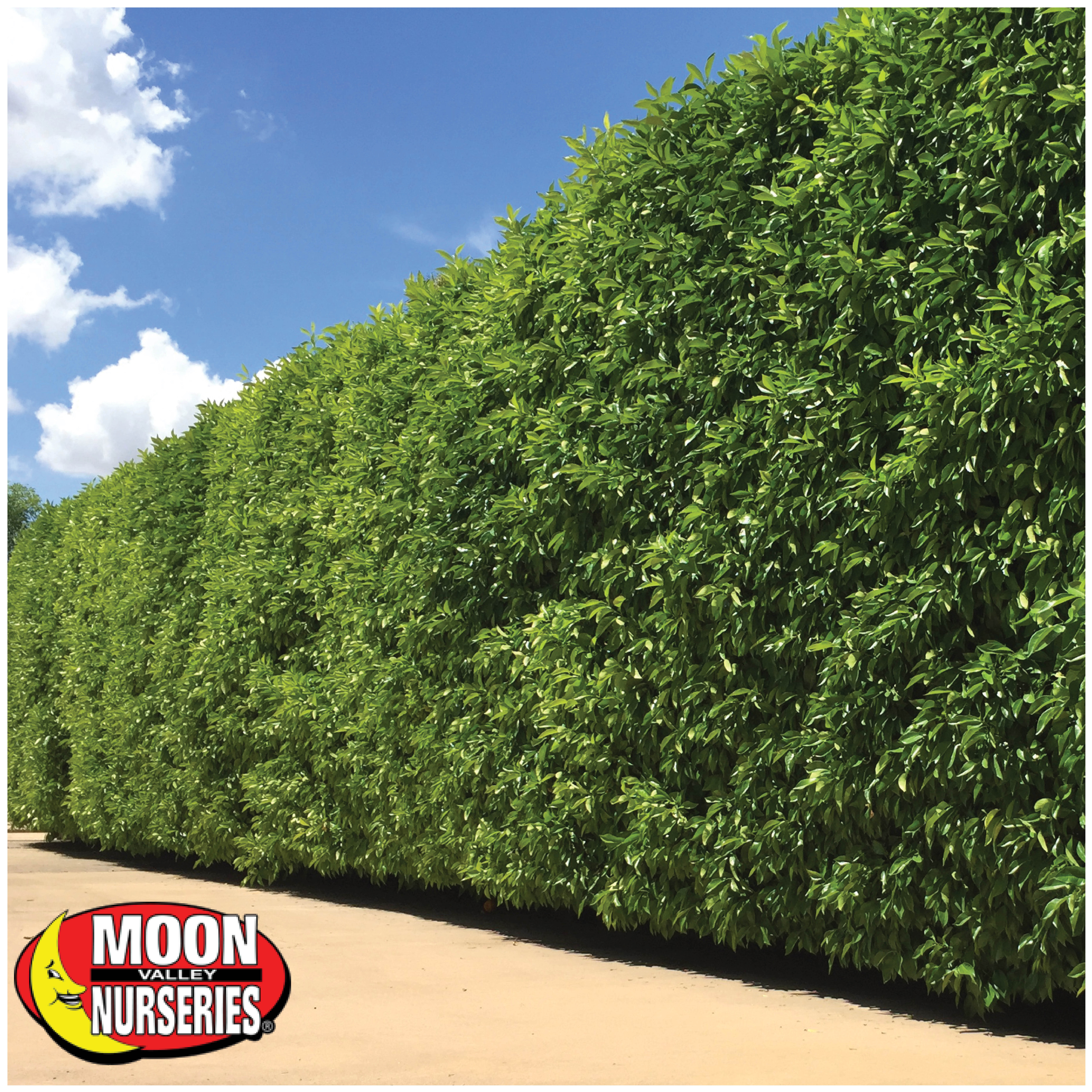 ficus_columns_privacy_hedge