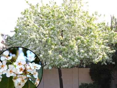 The Beautiful Flowering Pear Trees Are Taking Over Literally Lexington Herald Leader