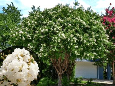 Crape Myrtle Natchez with White Flowers