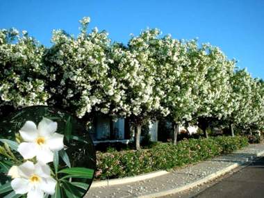 Large Oleander Tree with White Flowers