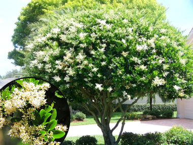 Japanese Privet Tree with White Flowers