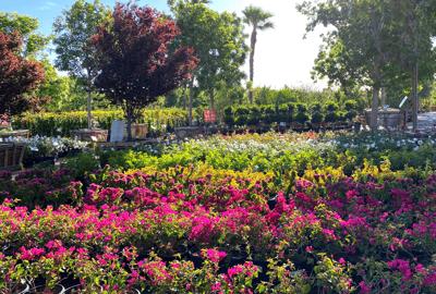 flowering shrubs at nursery