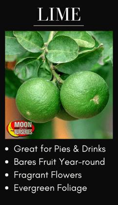 Lime Citrus Trees for best fruit