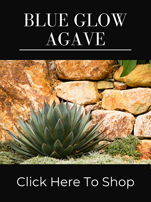 Shop for Blue Glow Agaves