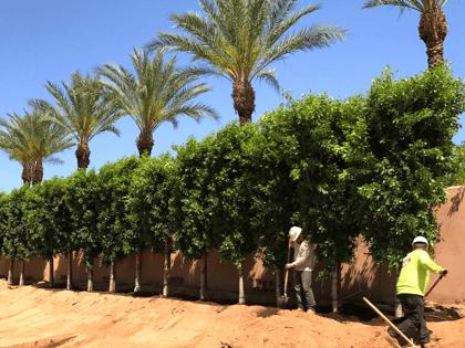 Ficus Nitida Indian Laurel Column hedge being planted