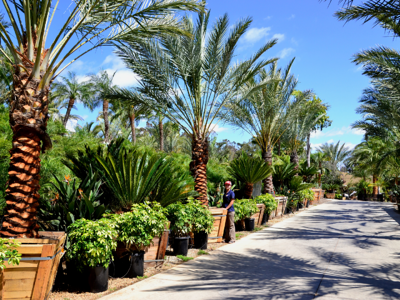 Date palms at moon valley nursery