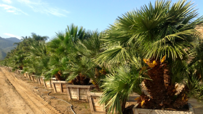 Mediterranean Fan Palms