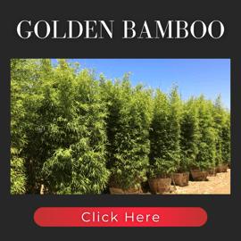Golden Bamboo hedges
