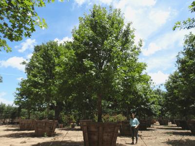 Oak Specimen tree