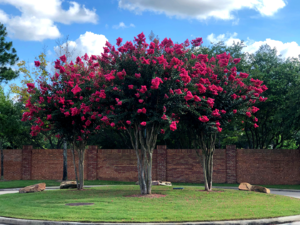 crape myrtle trees with red flowers