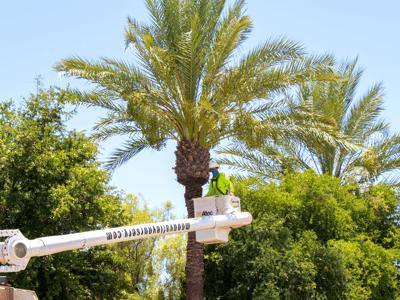 Moon Valley Nurseries Tree Care trimming Medjool Date Palms