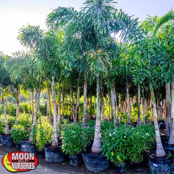 30gal Foxtail Palms In Nursery 650x650 Mvn