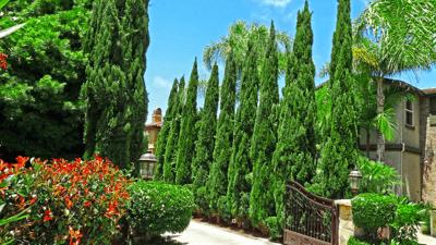 Italian Cypress lining driveway