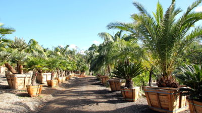 Palm tree grow fields