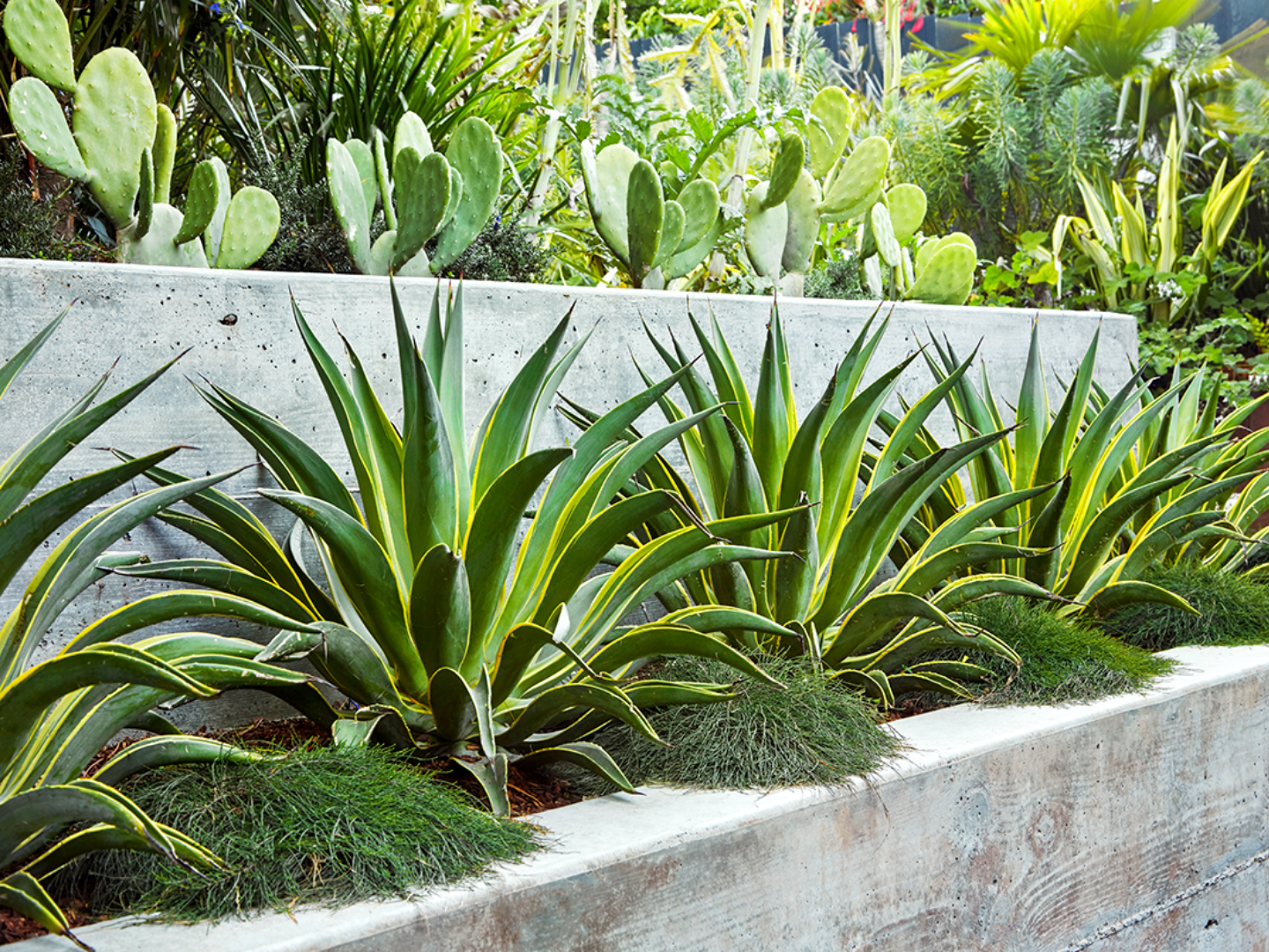 Variegated Agave in Concrete planter
