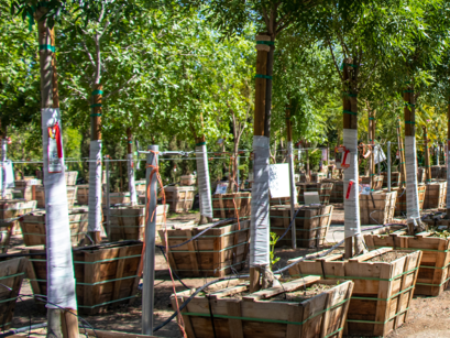 trees with tree wrapped trunks in nursery